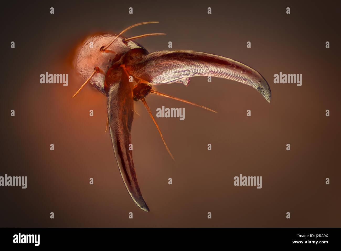 Extreme magnification - Amphimallon caucasicum beetle claw - Stock Image