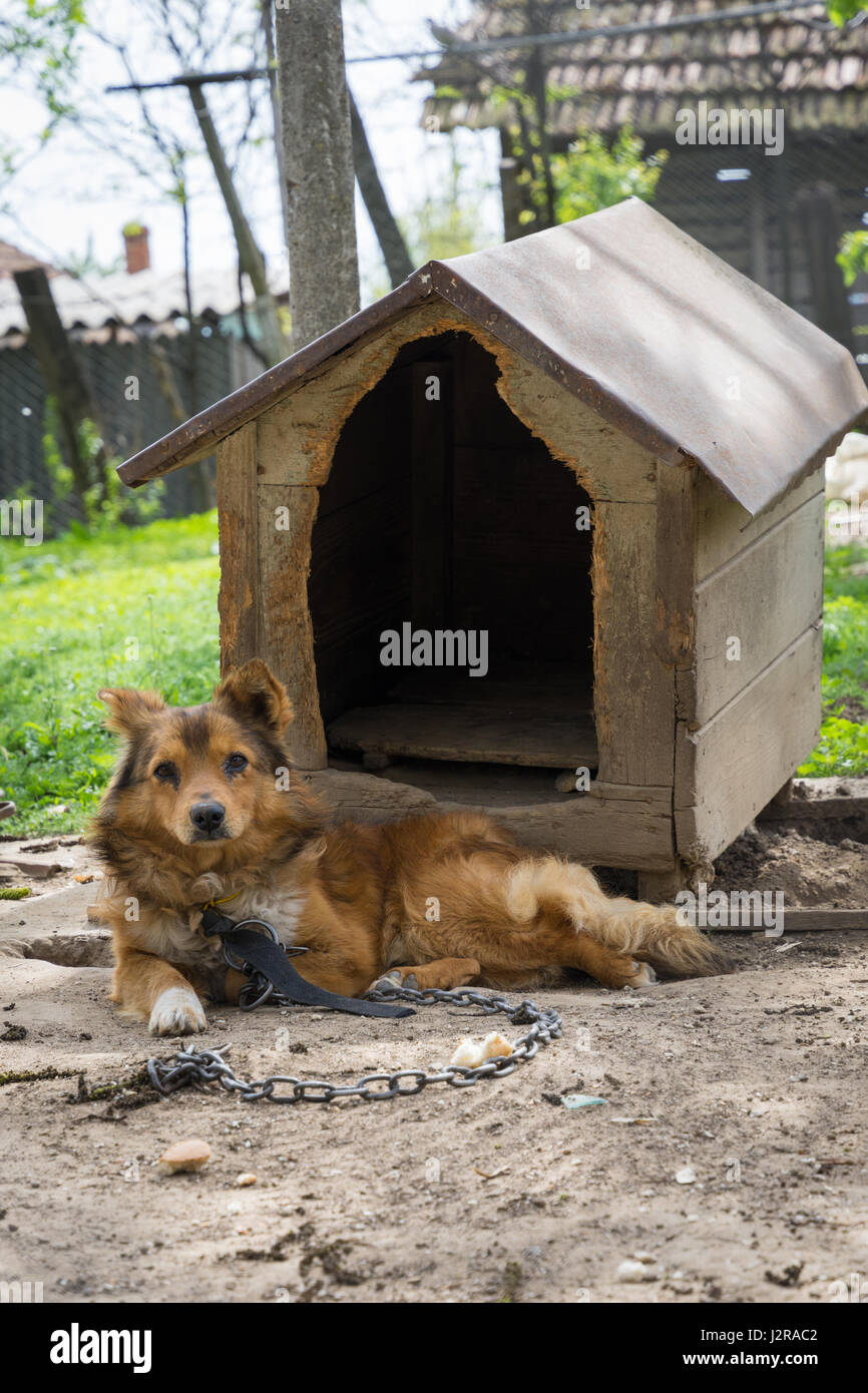 Young guard sentry dog sits on a chain near his dog house - Stock Image
