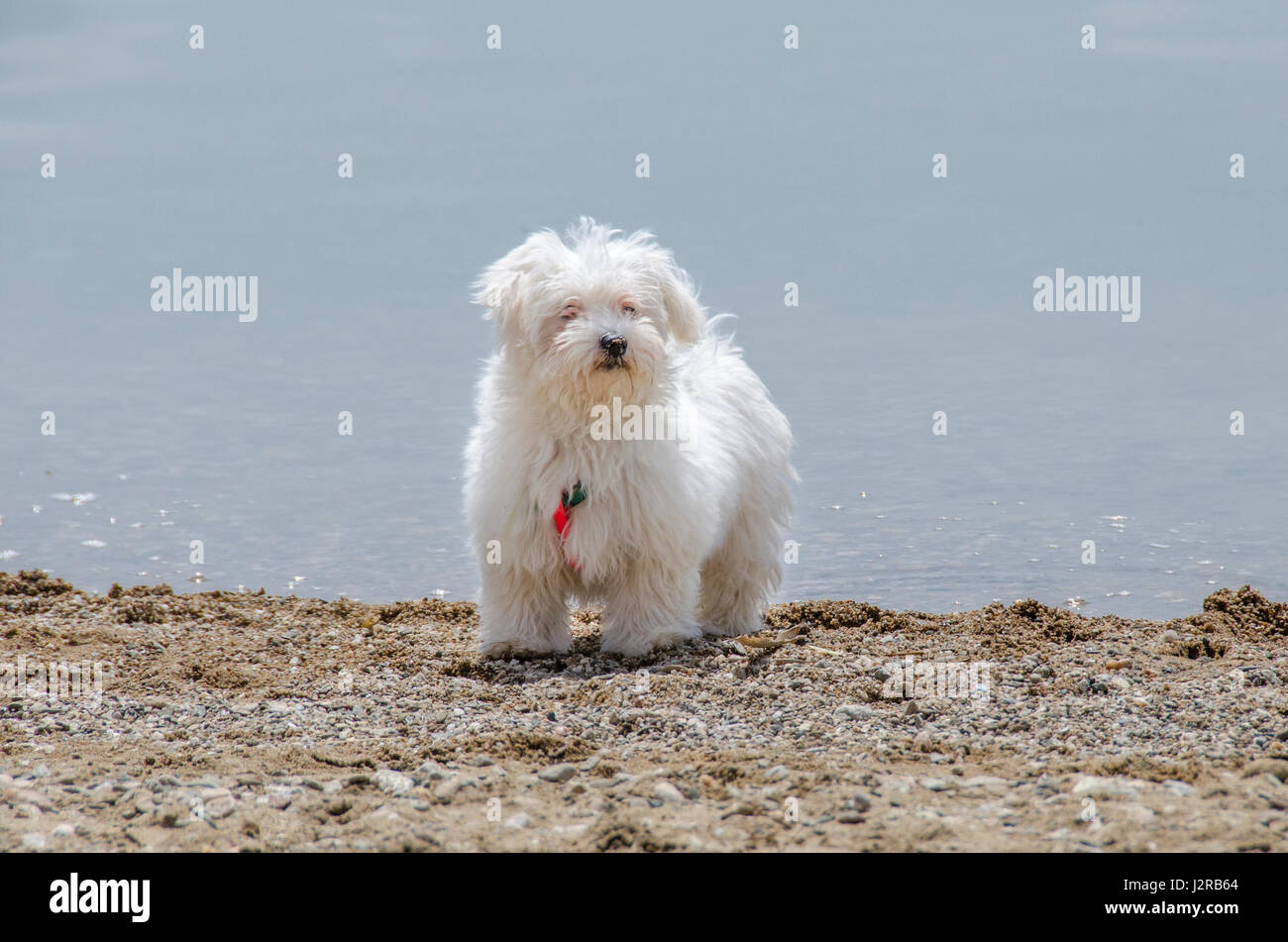 Cute fluffy dog on beach - Maltese puppy - Stock Image