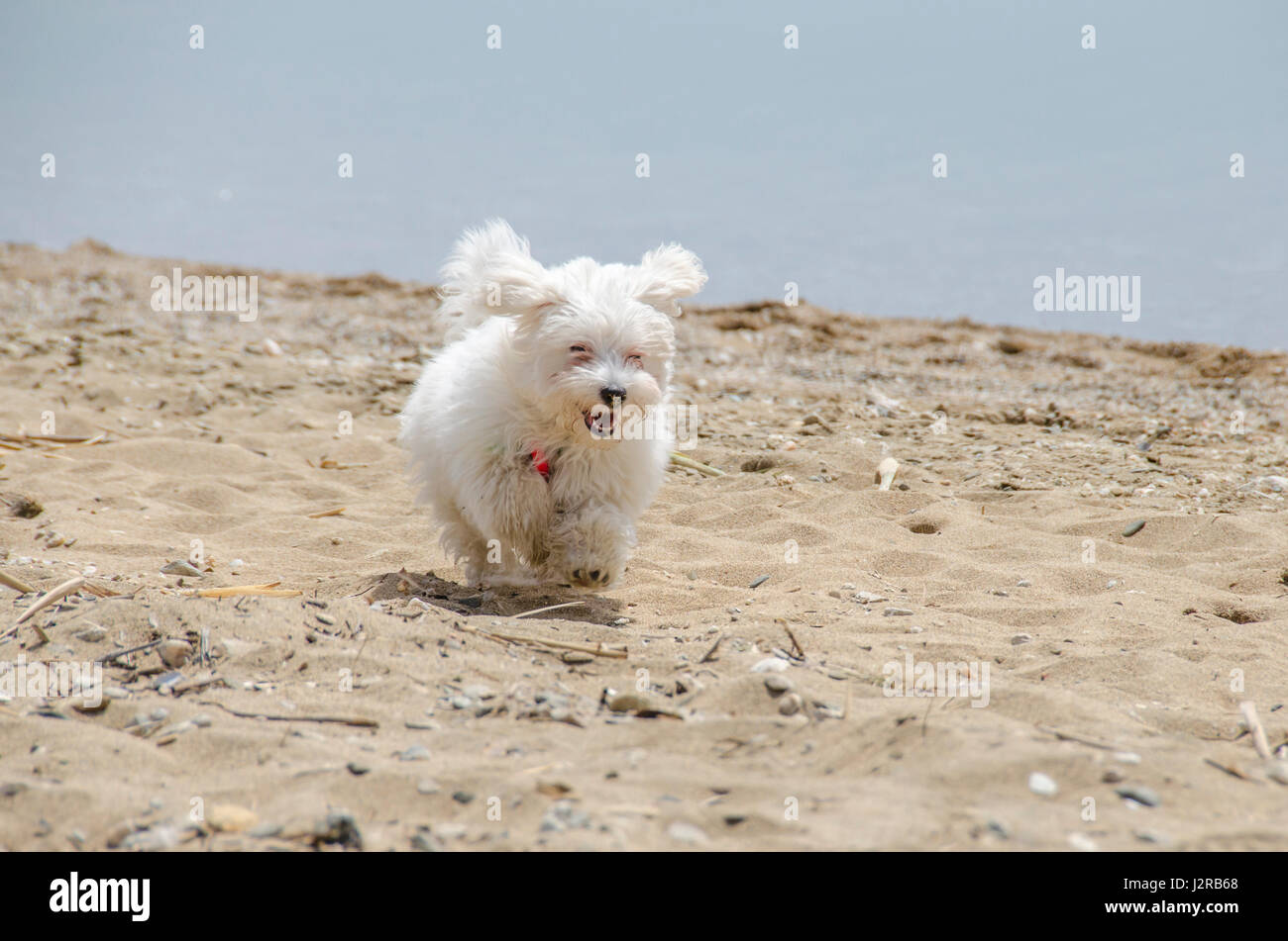 Cute dog on beach running - Maltese puppy - Stock Image