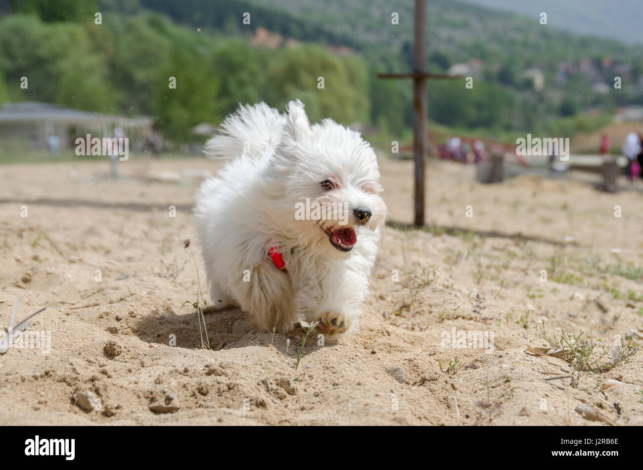 Cute puppy running - Maltese puppy - Stock Image