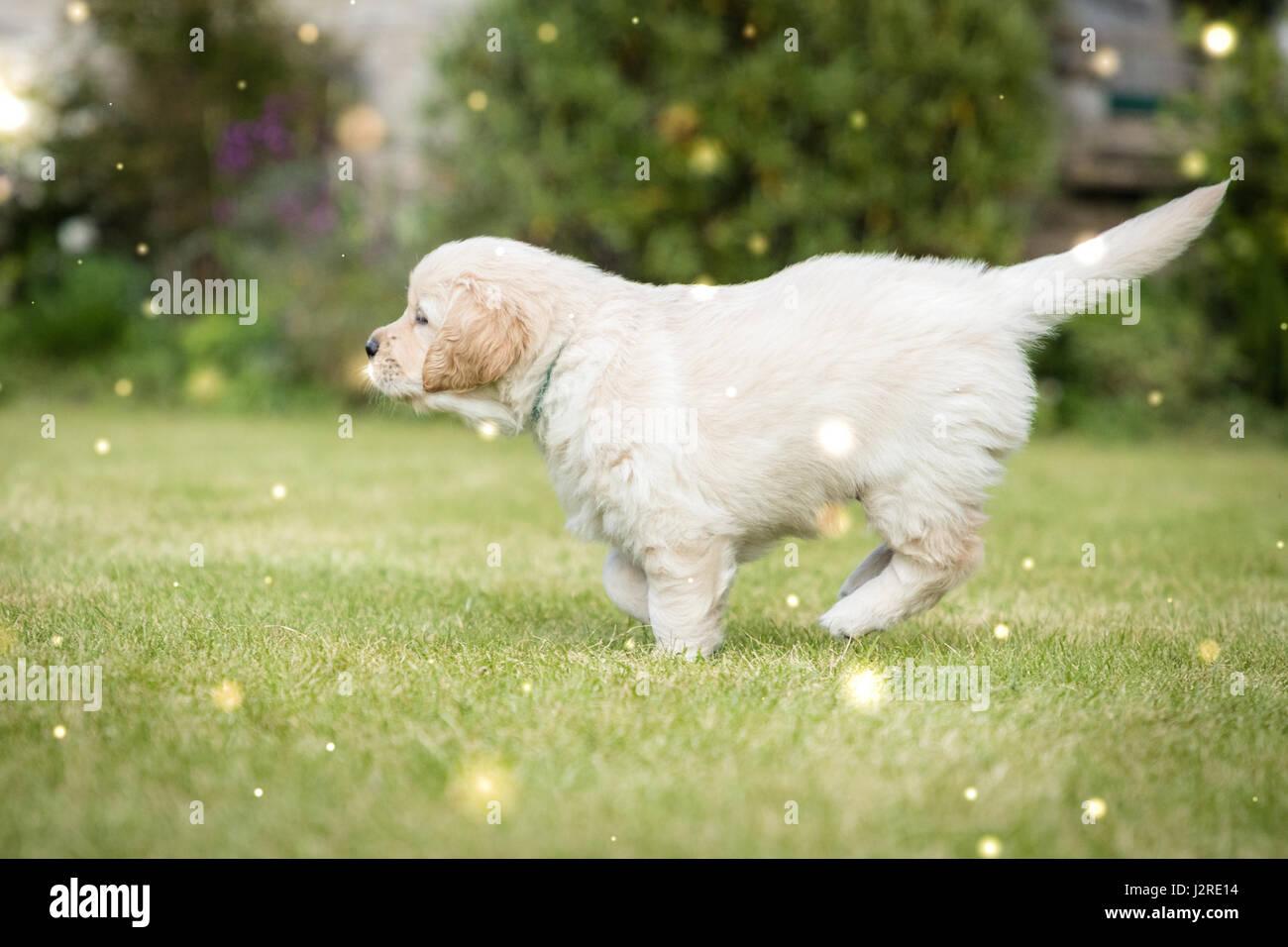 Golden Retriever Puppy Running In Garden Chasing Fairies Stock Photo