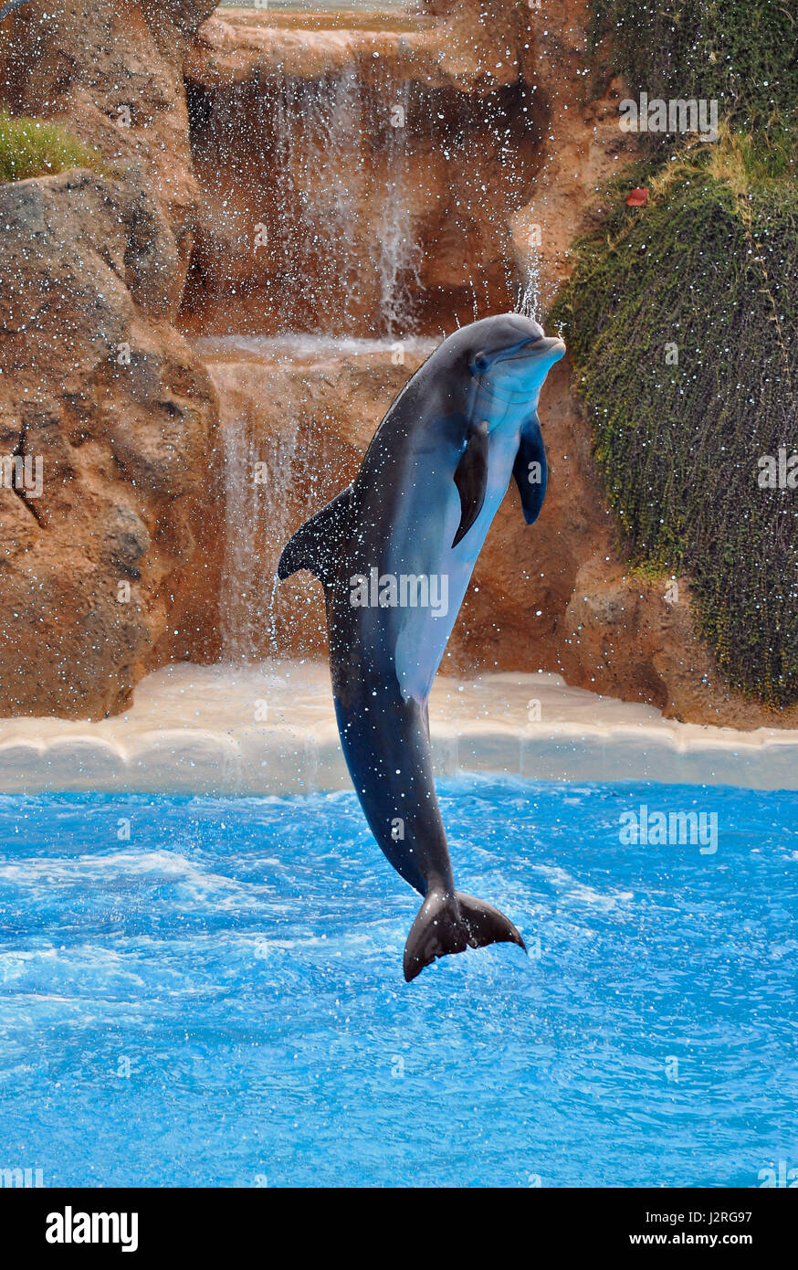 Animals photography. Young dolphin acrobat demonstrate their skills. - Stock Image