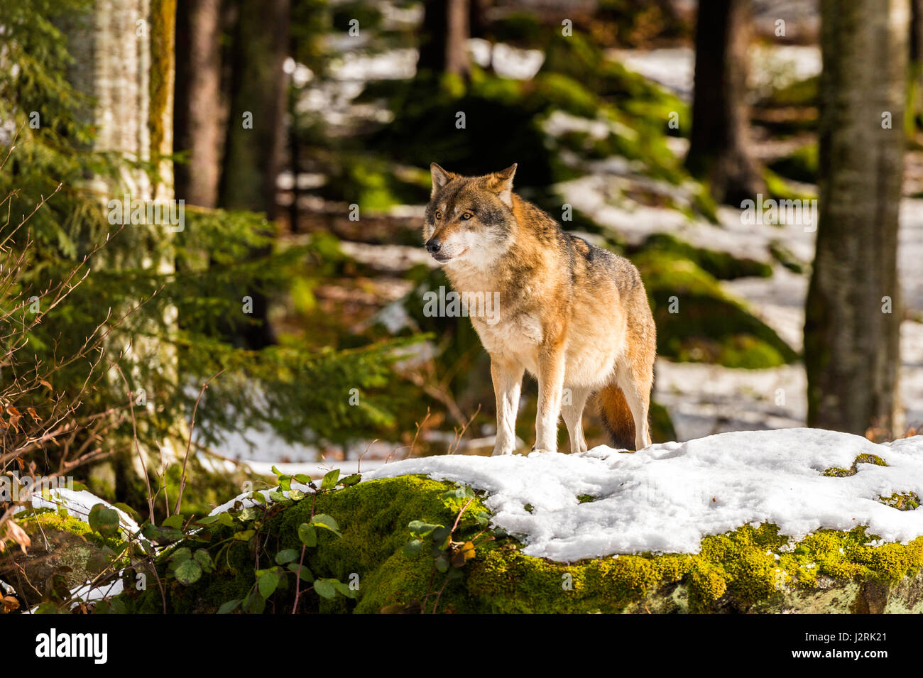 Beautiful single adult Grey Wolf (Canis lupus) Alpha Male depicted posturing menacingly from a vantage point in - Stock Image