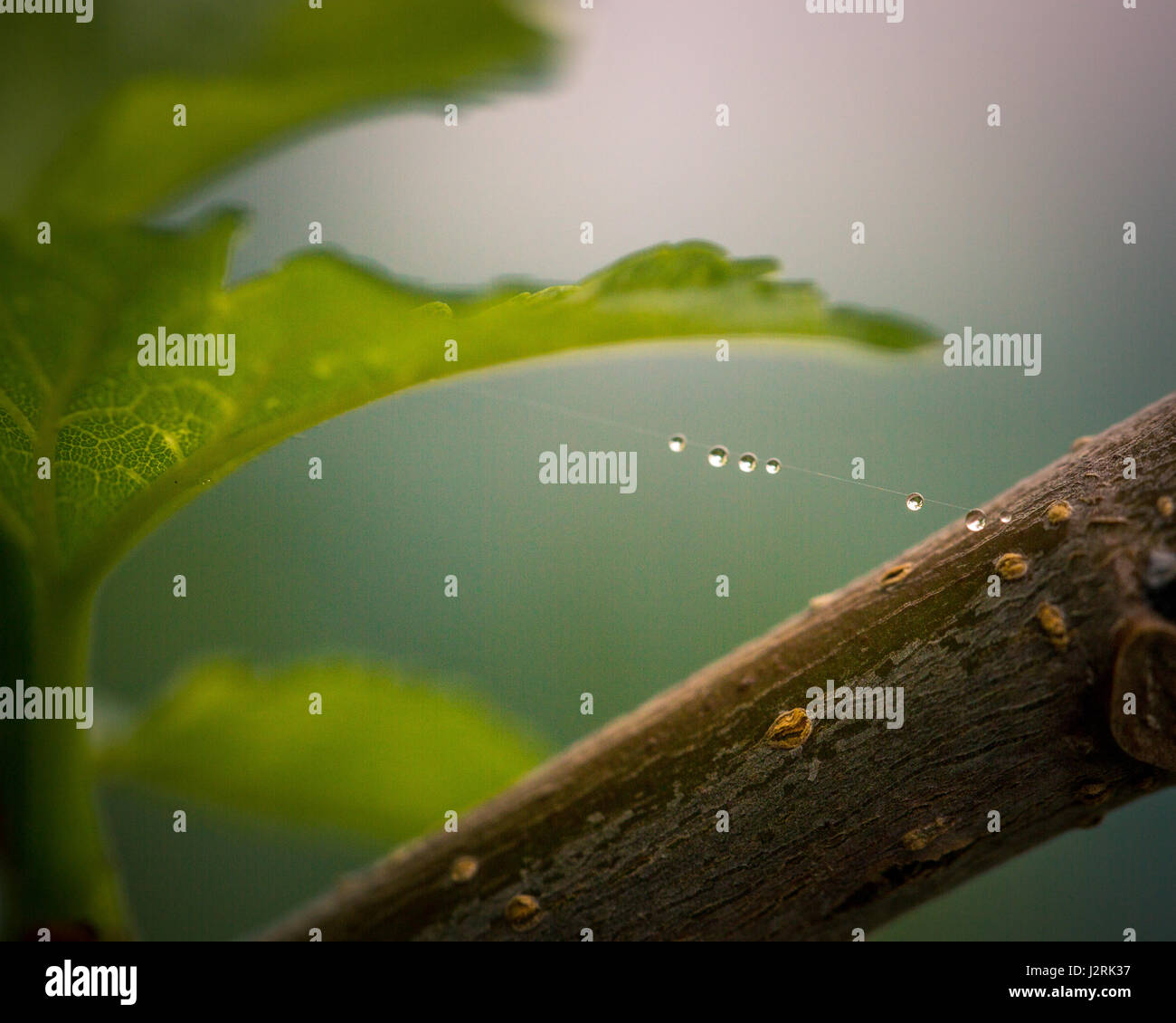 Spider webs with raindrops - Stock Image