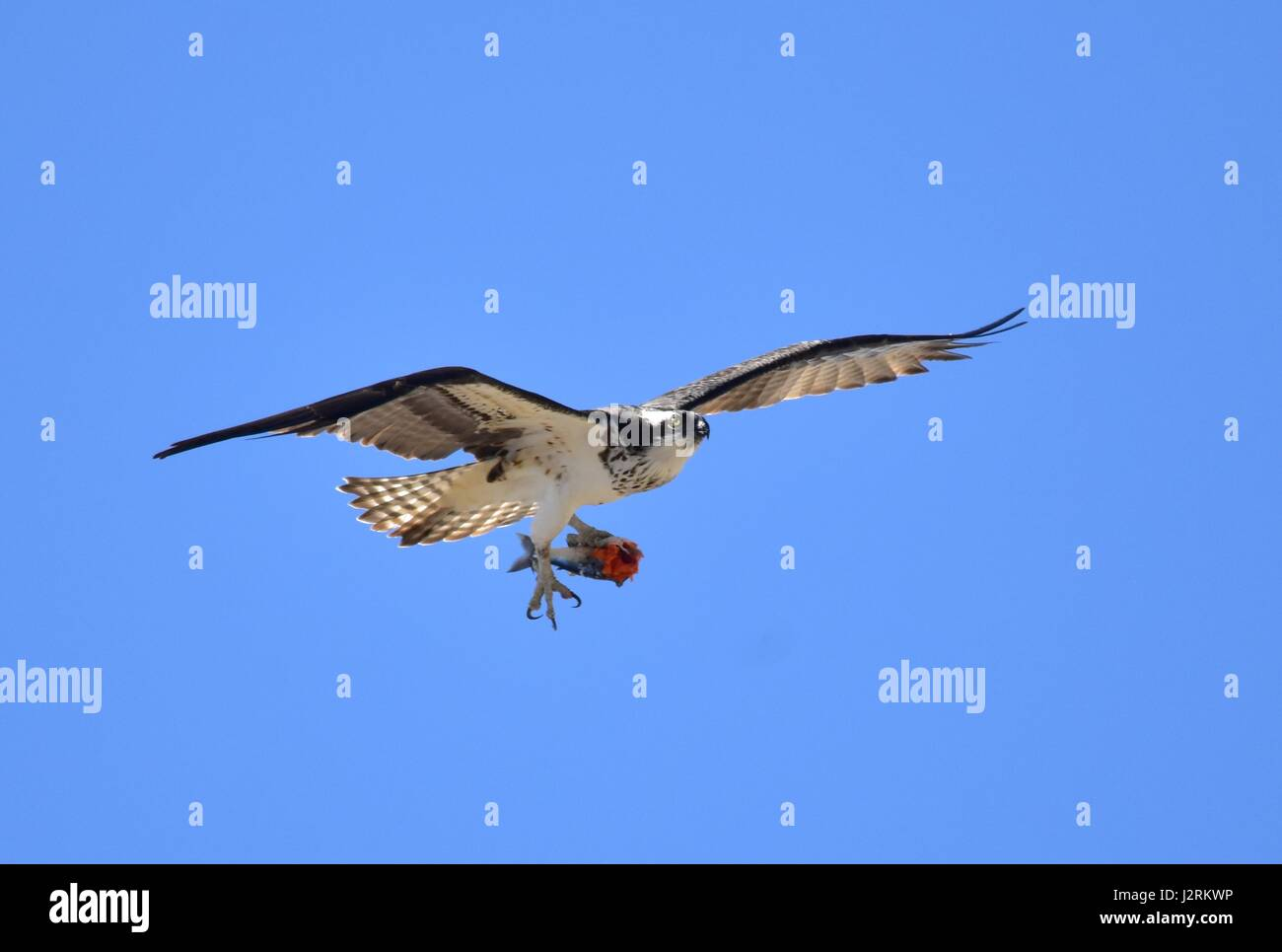 An osprey with half eaten fish in its talons flies in the Seedskadee National Wildlife Refuge April 15, 2017 in - Stock Image