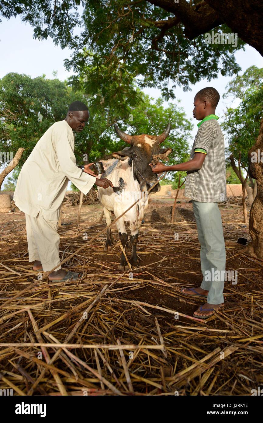 Farmers treating sick cattle against sheeppox, village Koungo, Plateau Central, Burkina Faso - Stock Image