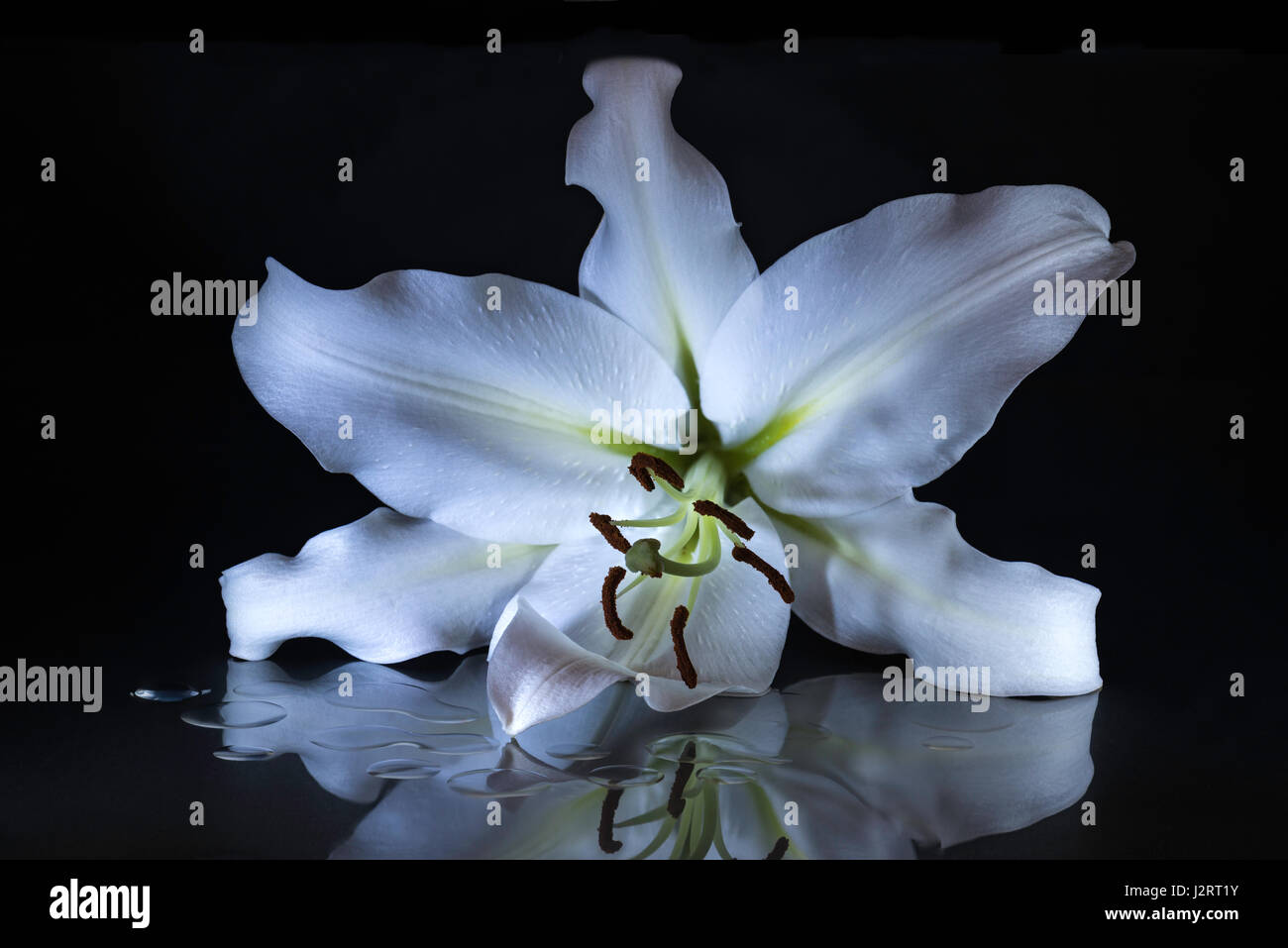 Black white water lily flower stock photos black white water lily white lily flower emphasizing the beautiful form and structure of the carpel and stamen with petals izmirmasajfo