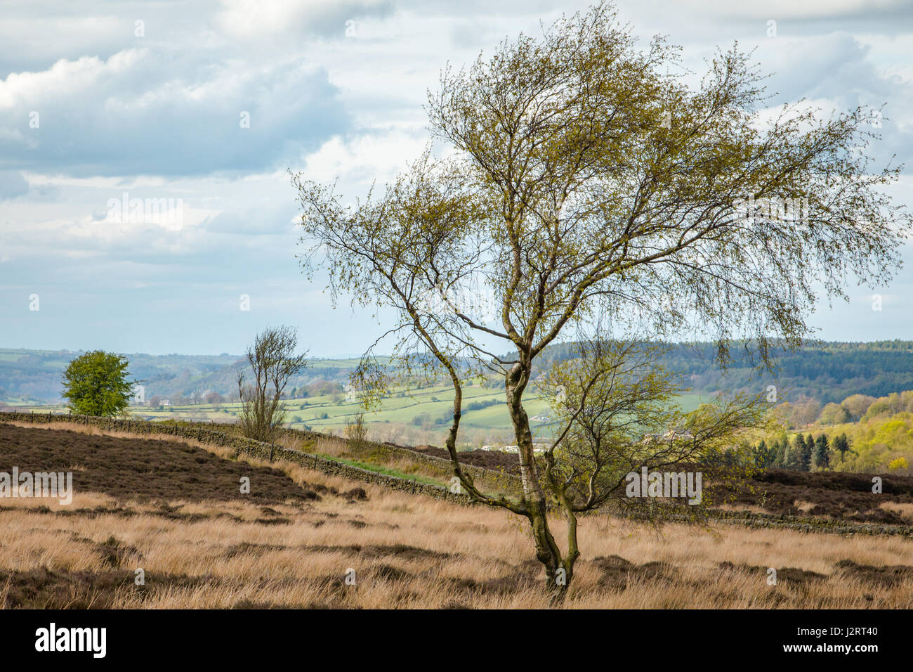 Lone Tree on Rowsley Moor East - Stock Image