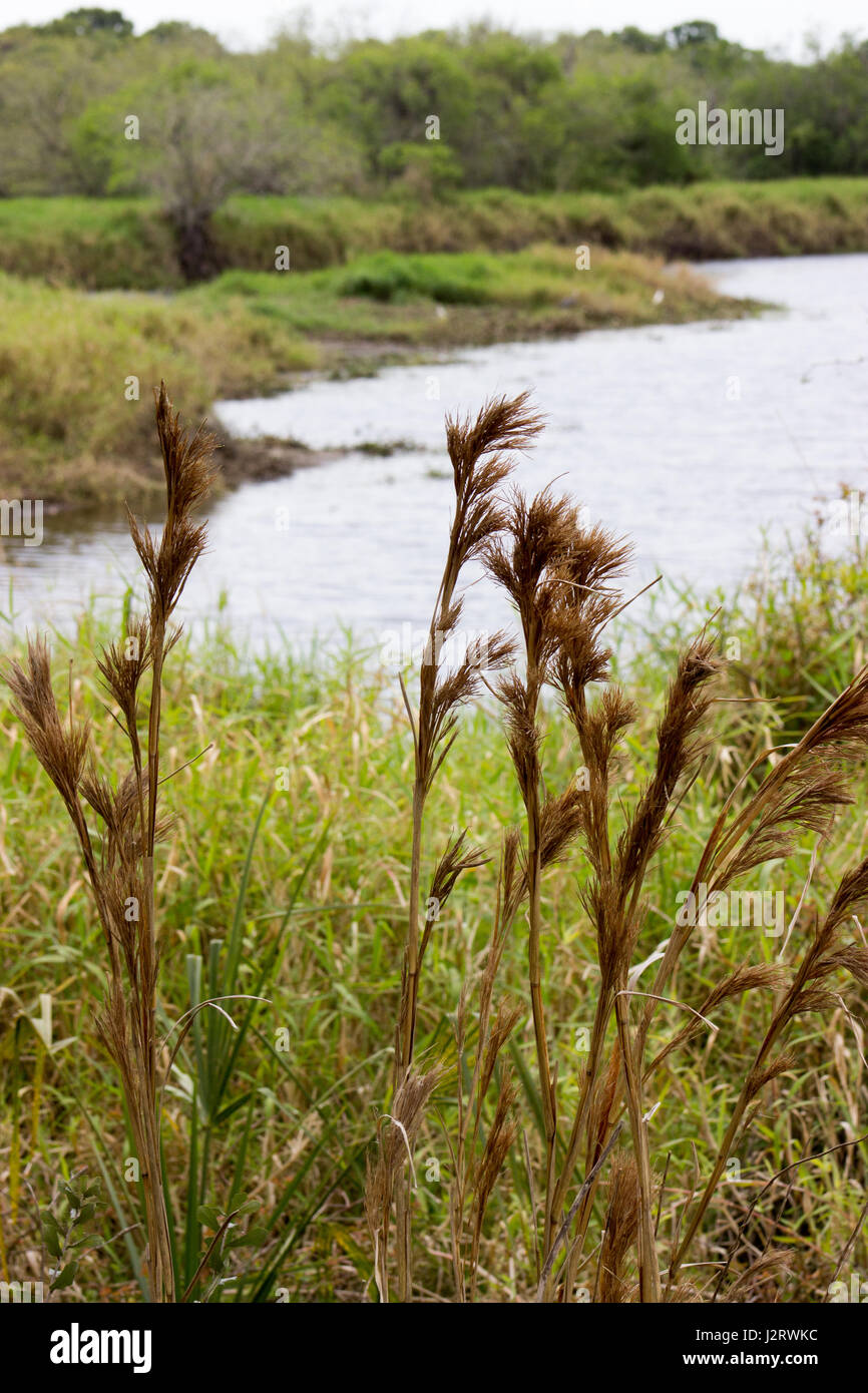Dried Plants in the wild - Stock Image