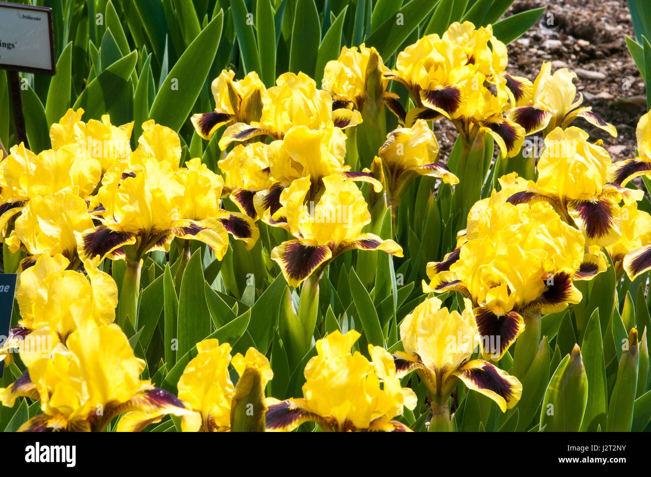 Iris Is A Genus Of Monocotyledonous Plants Of The Iridaceae Family