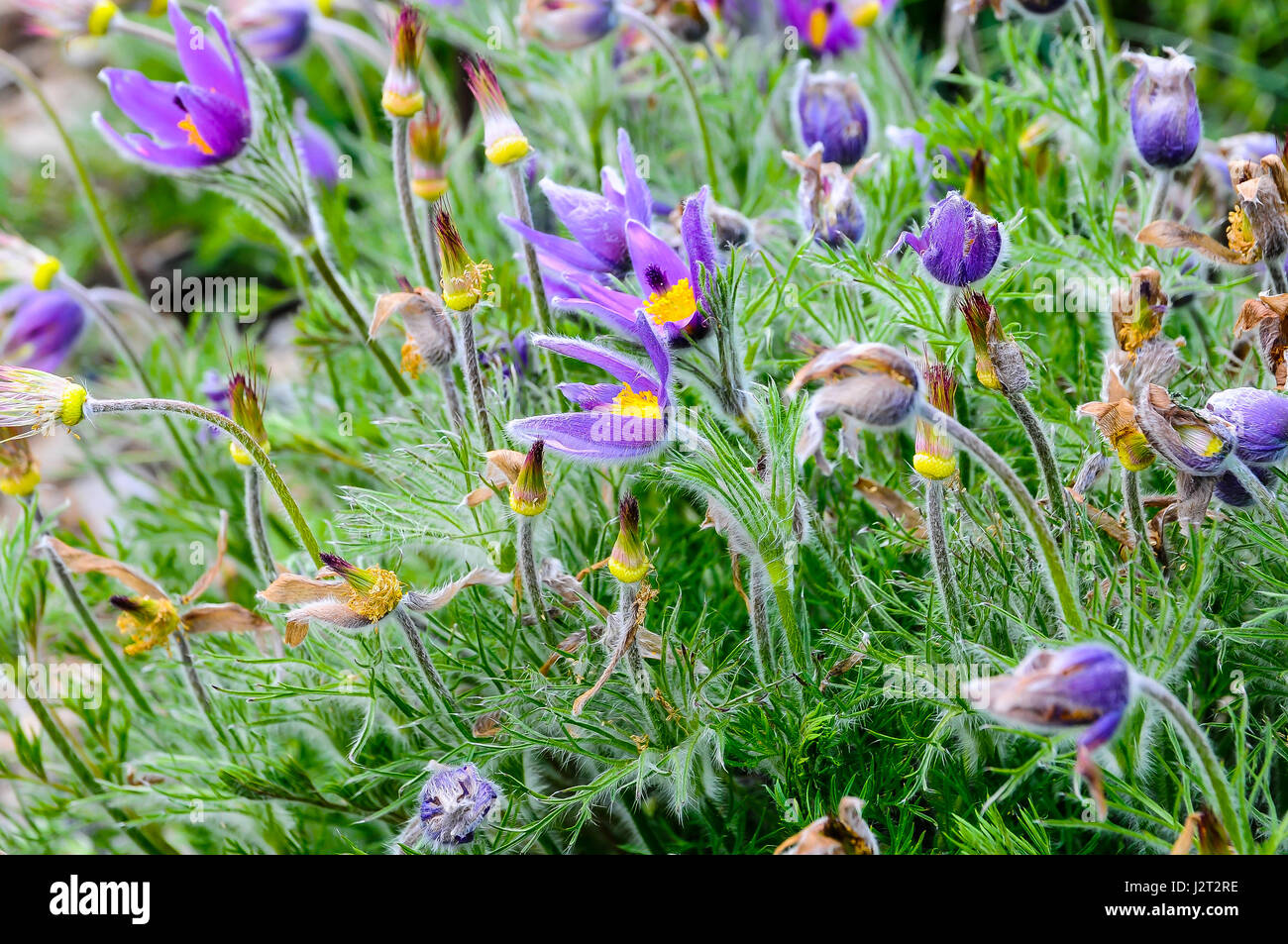 Pulsatilla (Pulsatilla) is a low to medium stony plant, with predominantly hairy leaves and stems, in the family - Stock Image