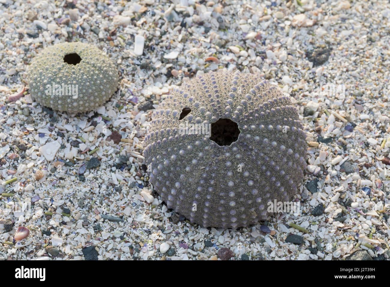 Seeigel-Skelett am Strand, Spülsaum, Skelett eines regelmäßigen Seeigel, Regularia, Seeigel-Kalk - Stock Image