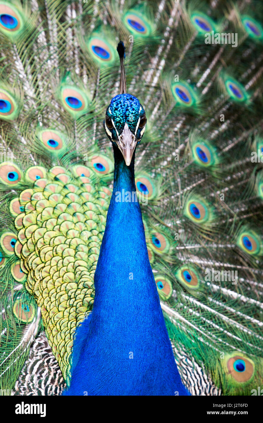 Front on portrait of a Peahen, part of the Phasianidae family of game birds. - Stock Image