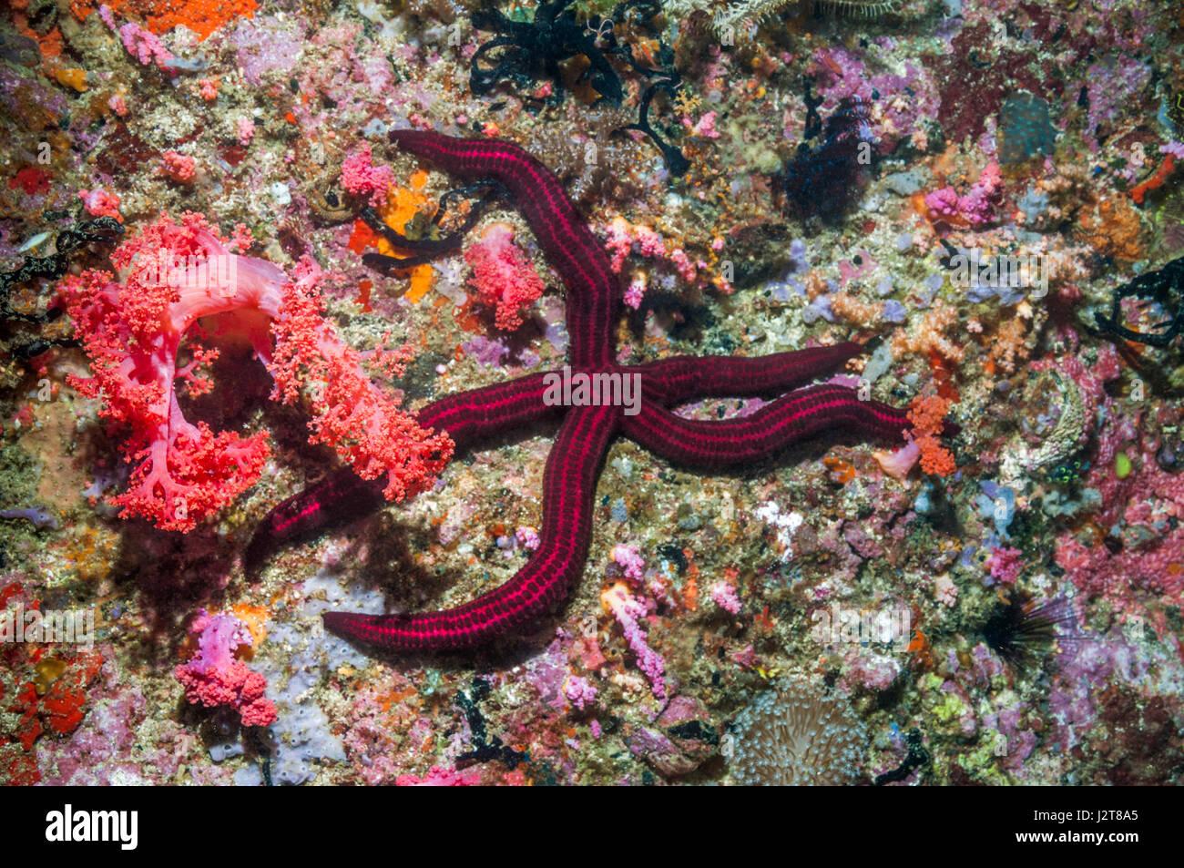 Velvety sea star [Leiaster speciosus].  Cebu, Malapascua Island, Philippines. - Stock Image