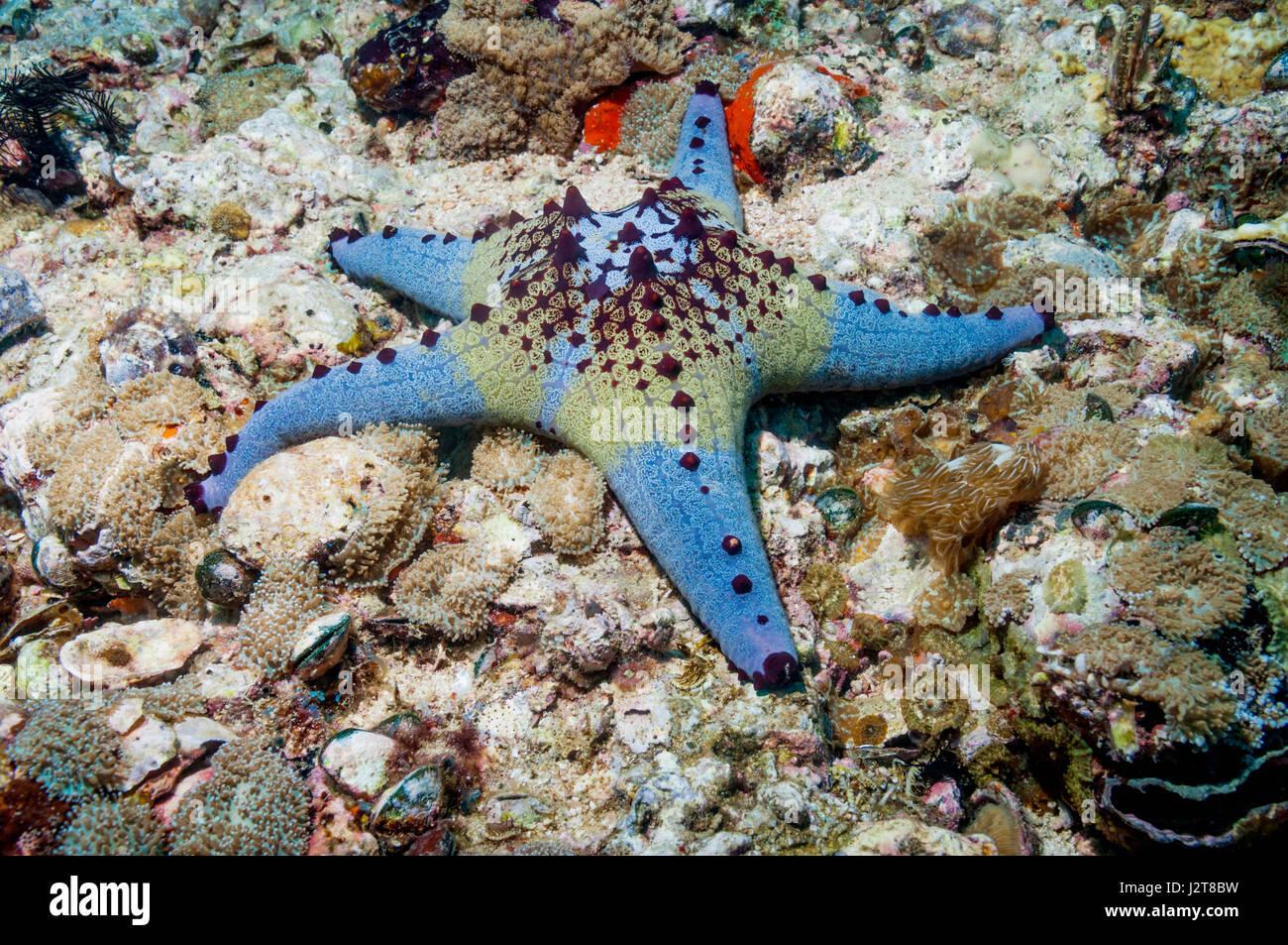 Honeycomb or Cushion starfish [Pentaceraster alveolatus].  Oreasteridae.  Malapascua Island, Philippines. - Stock Image