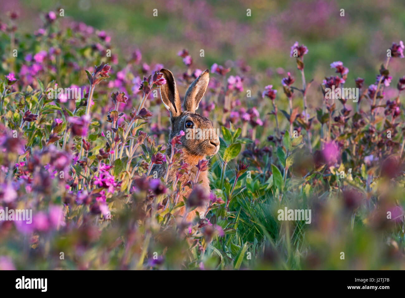 Norfolk, UK. 1st May, 2017. UK Weather. Brown Hare Lepus europaeus among field of Red Campion at Burnham Market - Stock Image