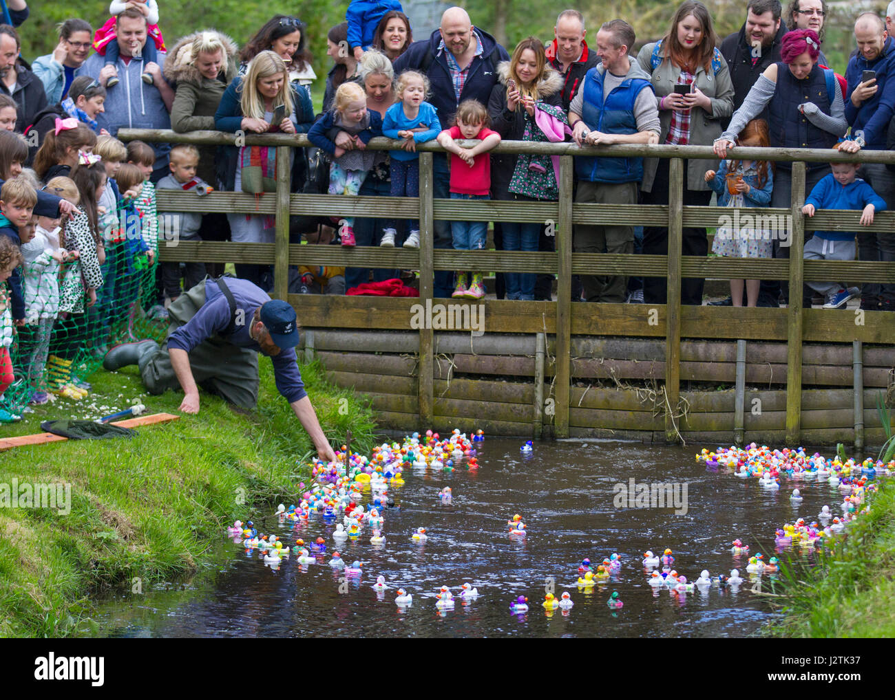 Tarlescough, Nr Southport, UK. 1st May, 2017.  Bank Holiday plastic duck race. WWT Martin Mere Wetland Centre made Stock Photo