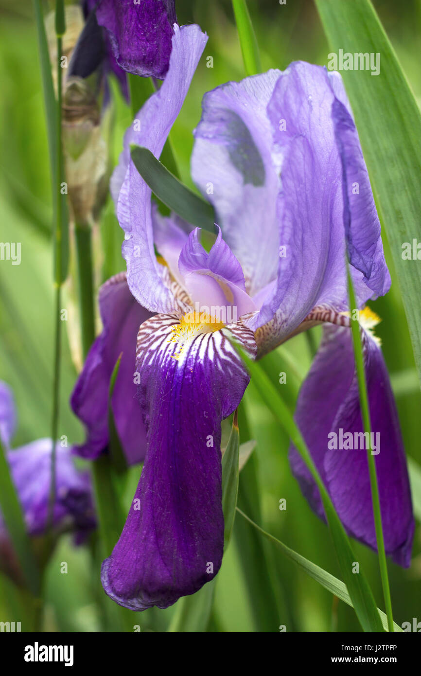 The Iris Flower In The Garden Stock Photos The Iris Flower In The