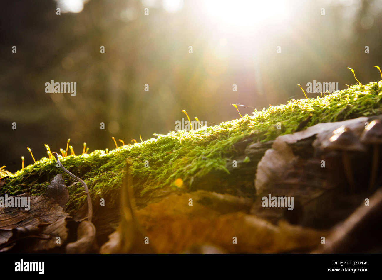 Sun rays on green moss against the background of the forest flash lighting effect & Sun rays on green moss against the background of the forest flash ...