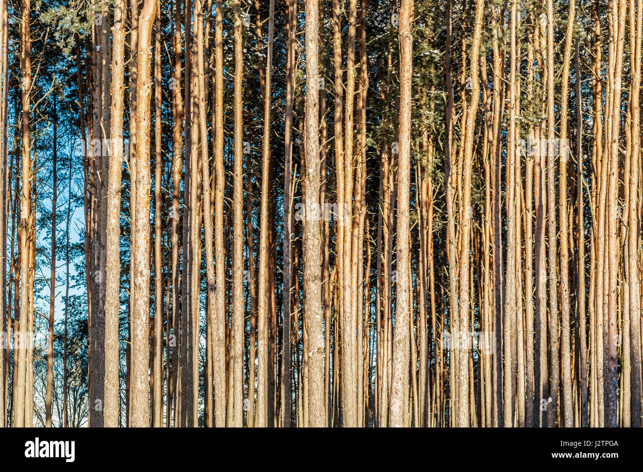 Coniferous forest background of trunks of long smooth trees - Stock Image