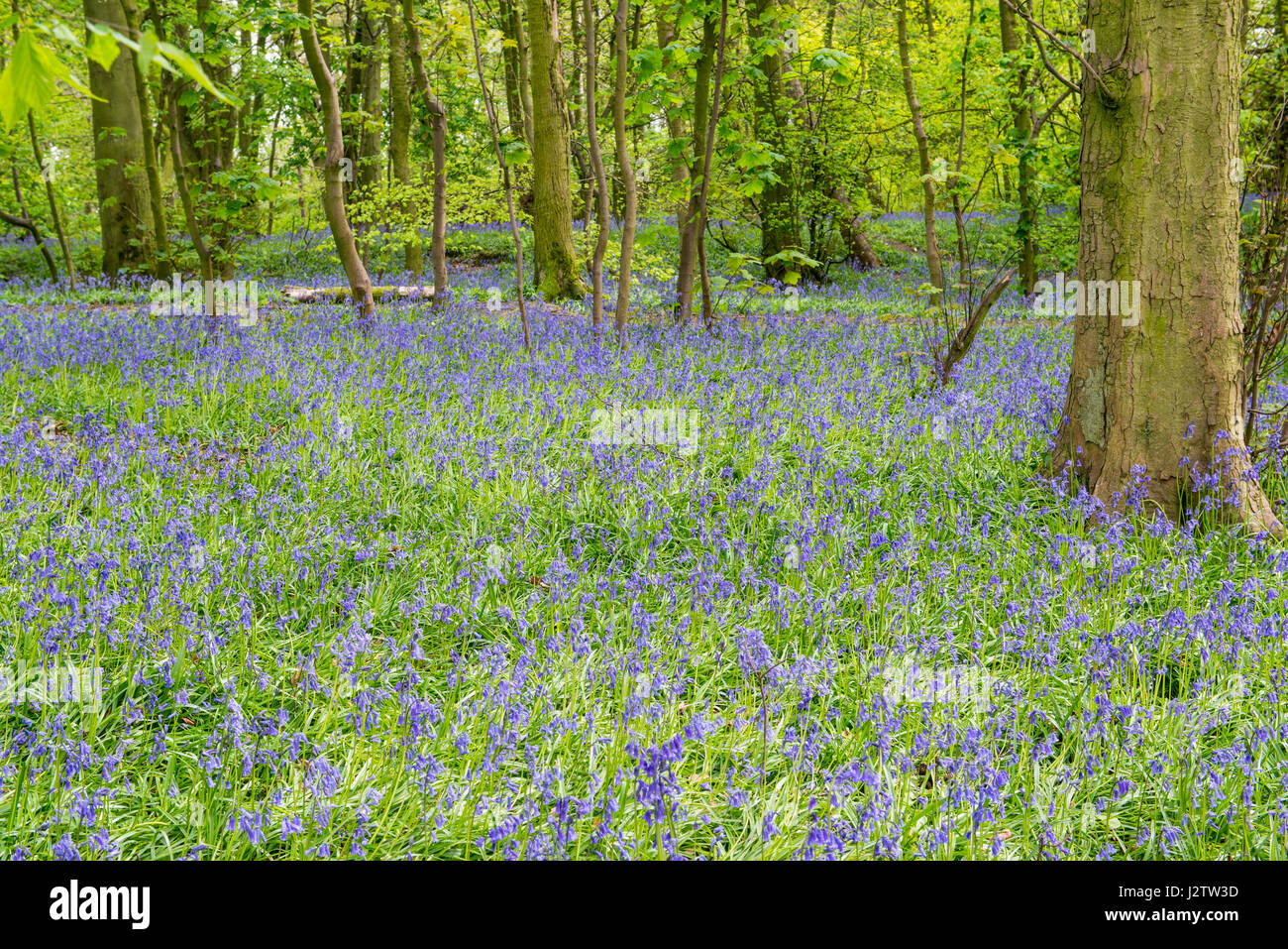 Bluebells In Ancient Woodland, Cheshire, UK Stock Photo