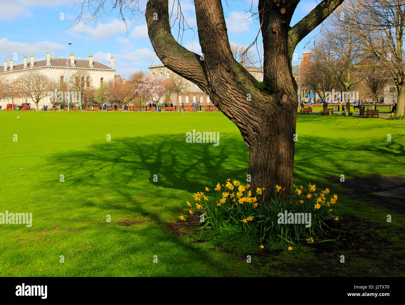 Daffodils Spring Flowers At Trinity College University Grounds Stock