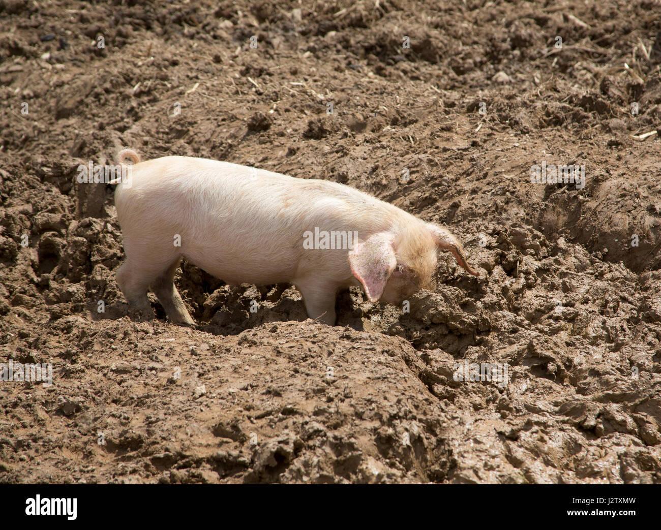 British Lop Pig, single piglet foraging in mud, Cornwall, UK - Stock Image