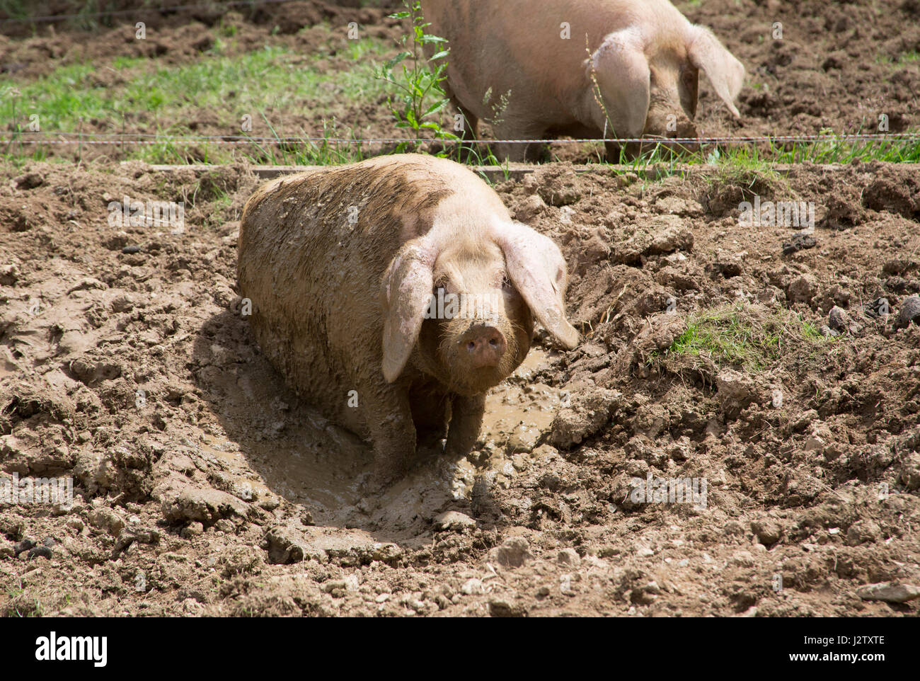 British Lop Pigs, adult females wallowing in mud, Cornwall, UK - Stock Image