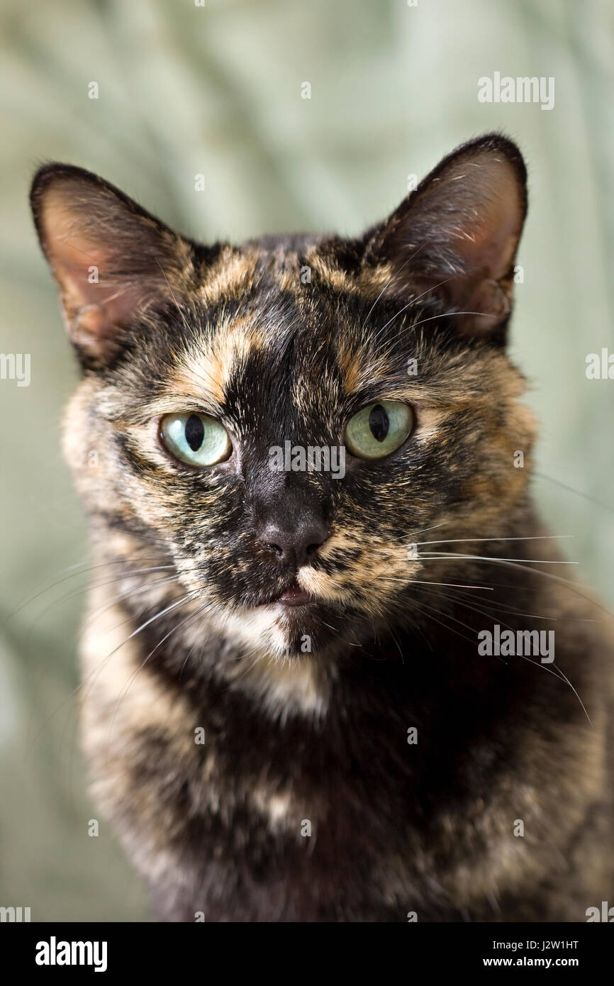 Portrait of Daisy a Tortoiseshell or Brindle pet cat looking directly at the camera - Stock Image