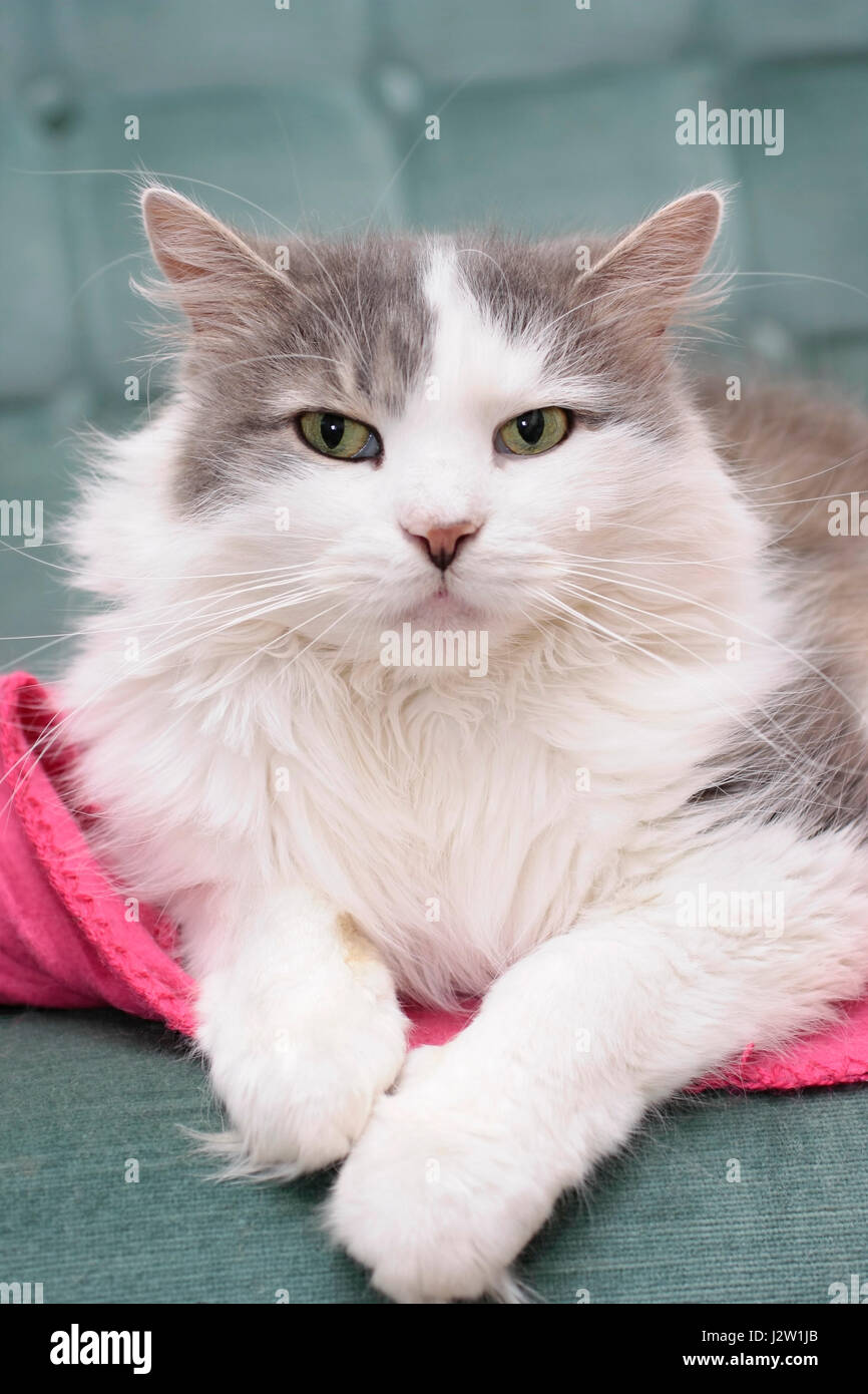 Longhaired female grey and white domestic pet cat (Felis catus) sitting relaxed on a sofa indoors Stock Photo