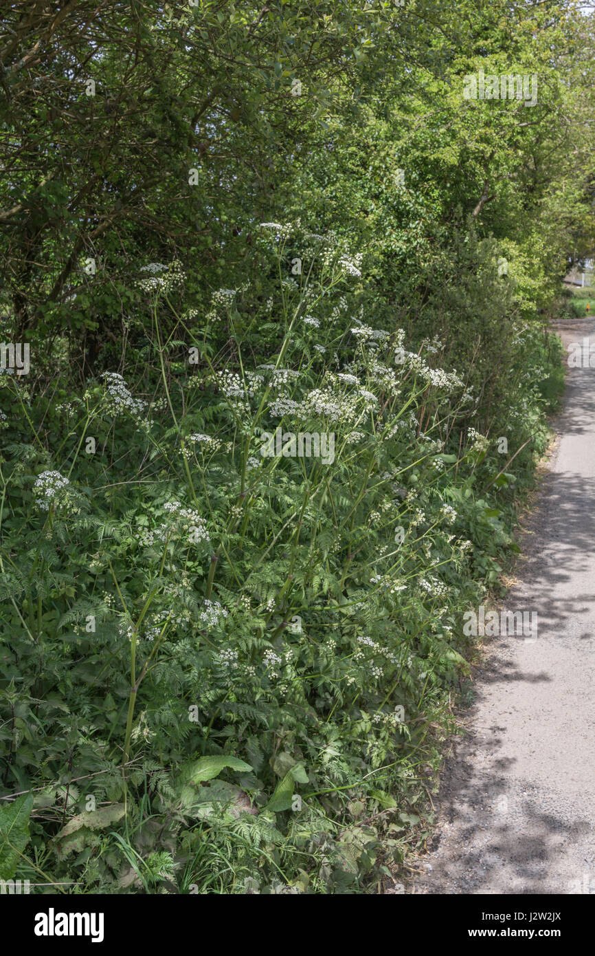A Patch of Cow Parsley / Anthriscus sylvestris on the side of a country lane (Cornwall). Very common weed on farmland Stock Photo