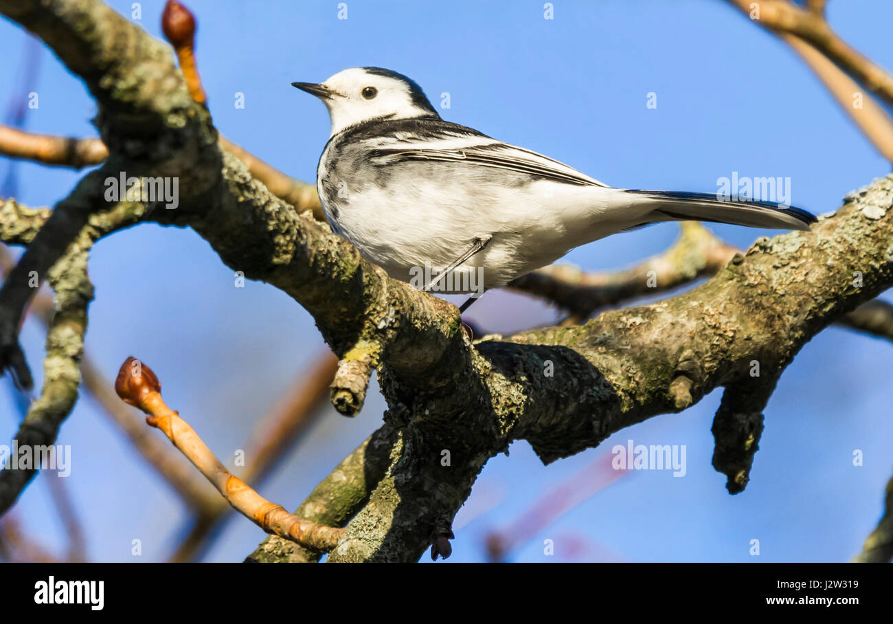 Female Pied Wagtail bird (Motacilla alba yarrellii) in Winter plumage in a tree in West Sussex, England, UK. - Stock Image