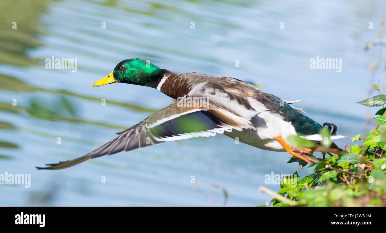 Male Mallard duck. Drake Mallard duck (Anas platyrhynchos) taking off and flying low over water in the UK.  Mallard - Stock Image