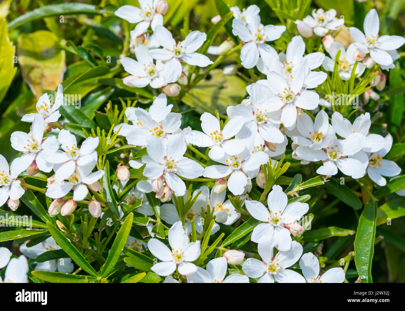 Small white flowers of the Mexican Orange Blossom (Choisya ternata) in late Spring/early Summer in the UK. - Stock Image