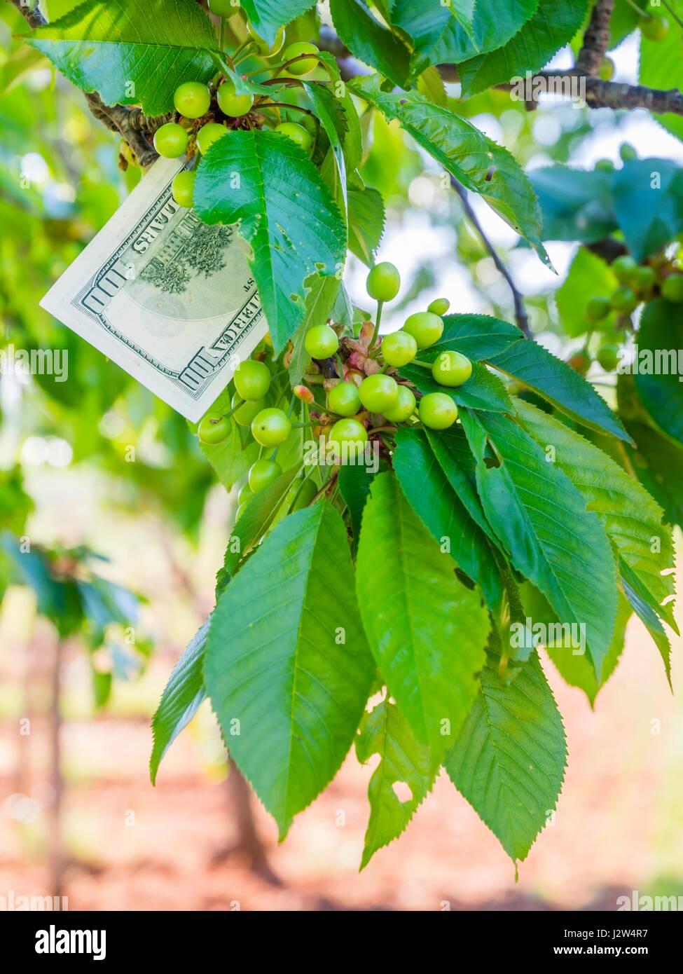 Money growing grow on tree trees - Stock Image