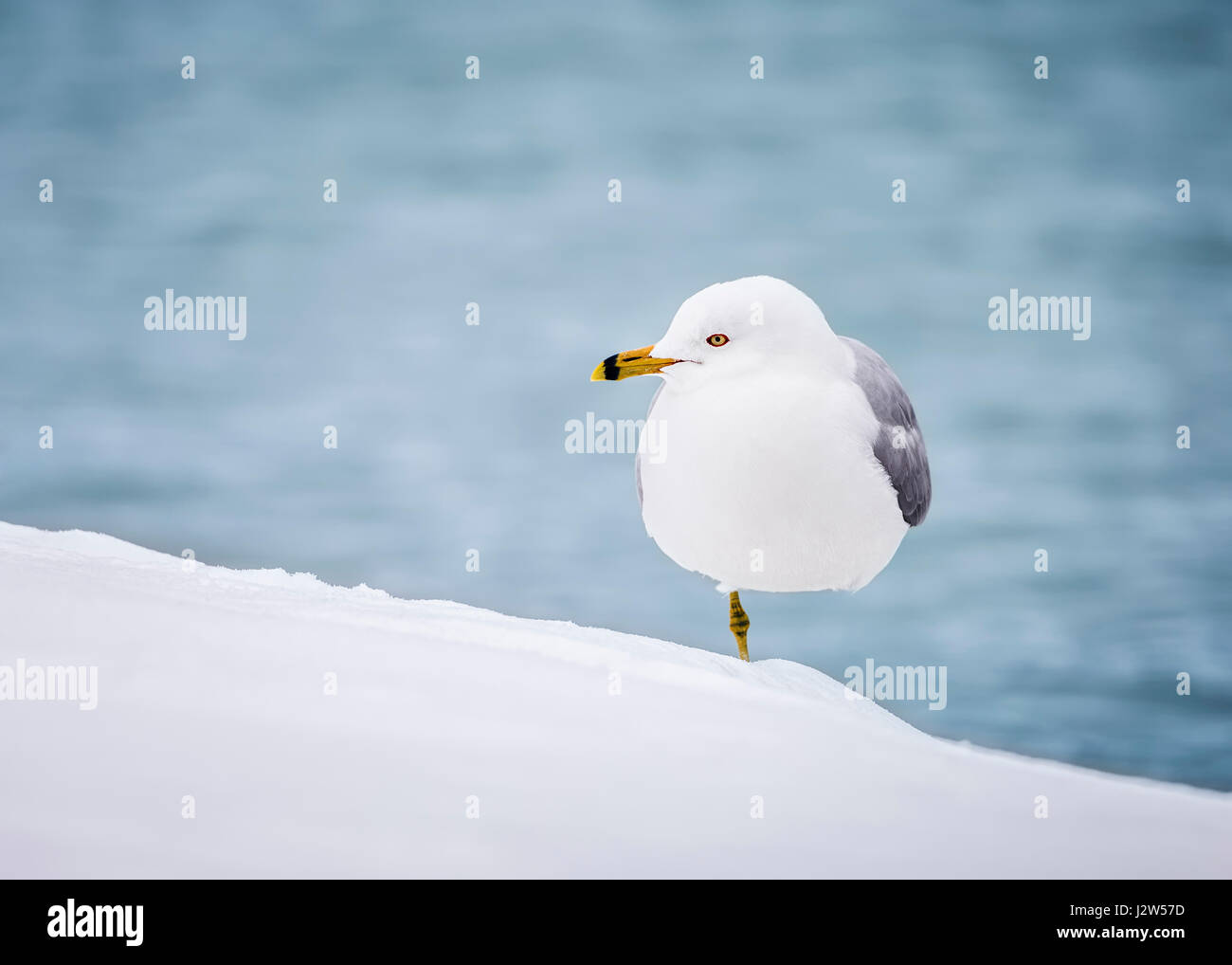 Ring-billed Gull standing on one leg in snow. - Stock Image