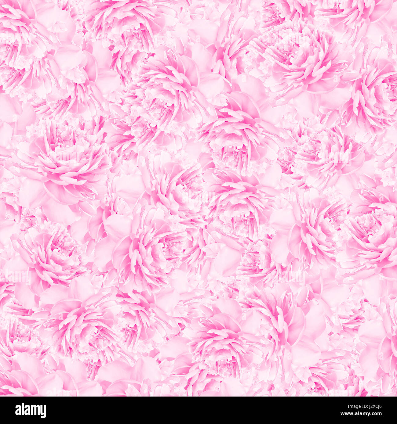 Peony flower texture, pastel soft toned. Greeting card background - Stock Image