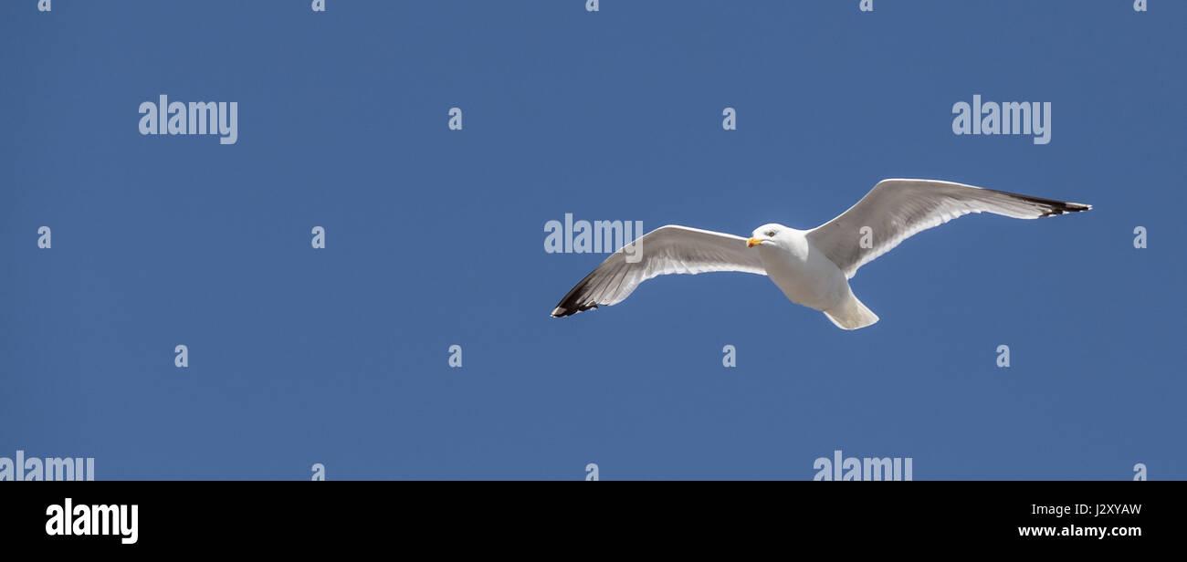 seagull in flight - Stock Image