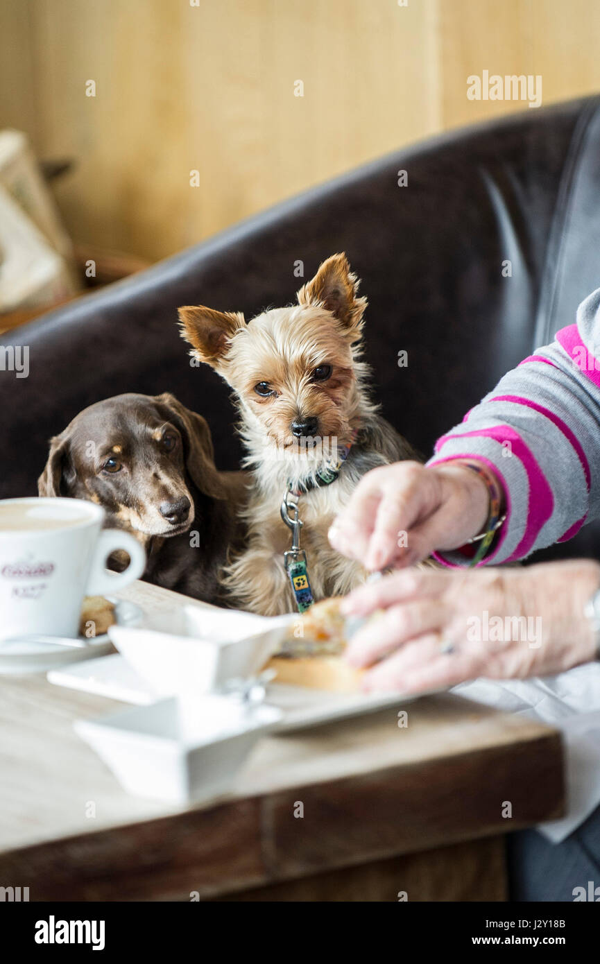 Two small dogs watching their owner eating  Intent Food Pets Watching carefully Concentrating Concentration Hungry - Stock Image