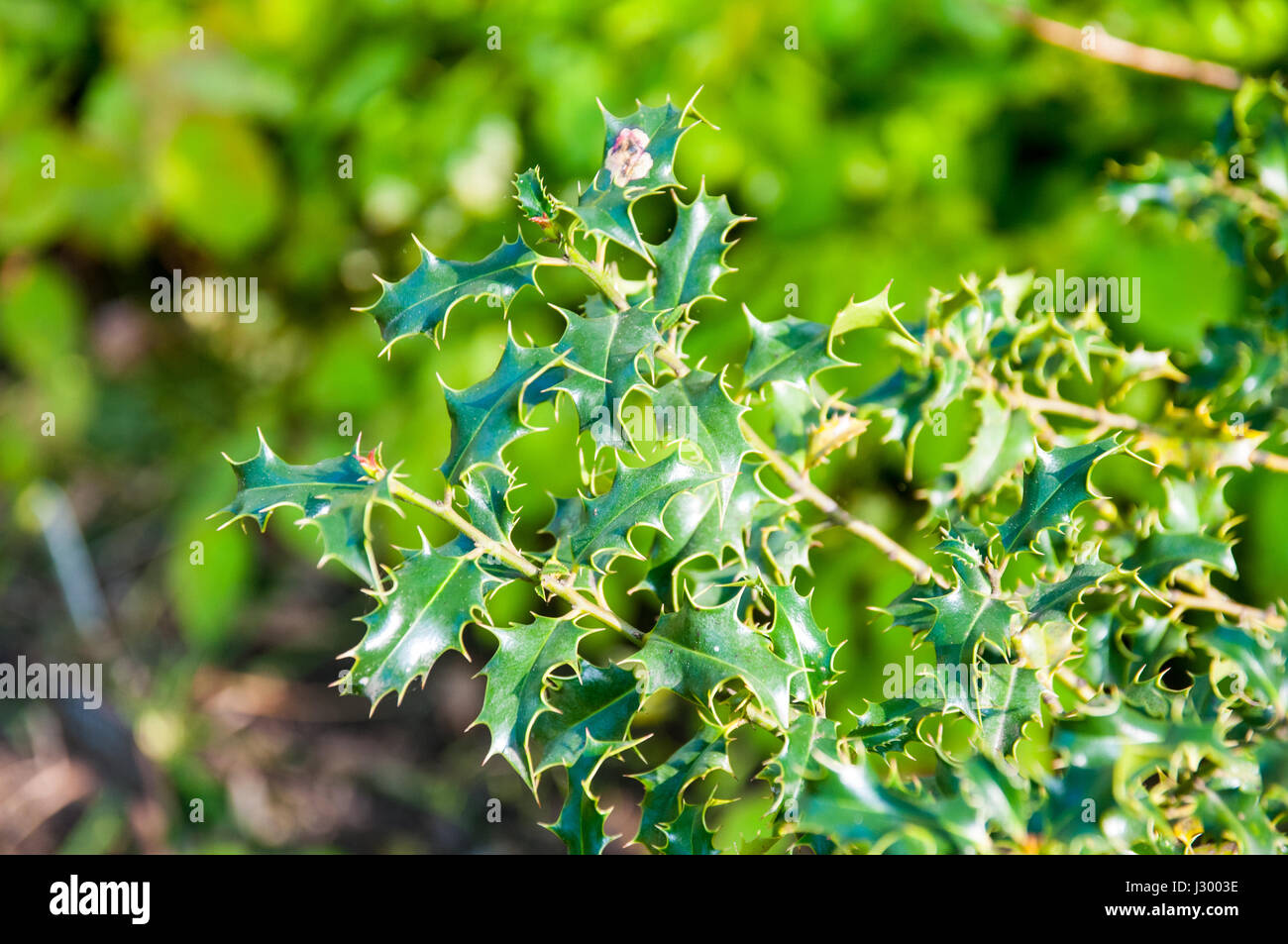 Holly (Ilex) is the only genus of the family of the Aquifoliaceae of the higher dicotyledonous plants. - Stock Image