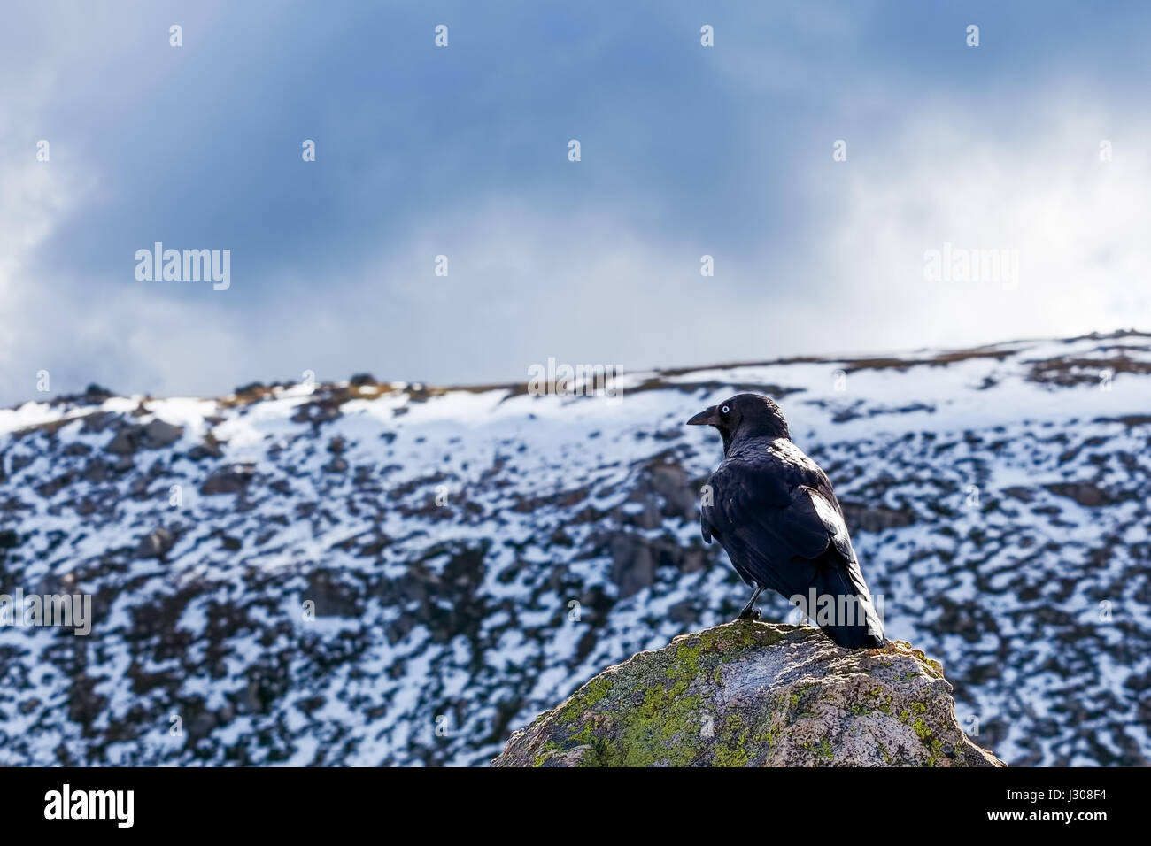 Australian Raven perching on a rock with snowy mountains in the background - Stock Image