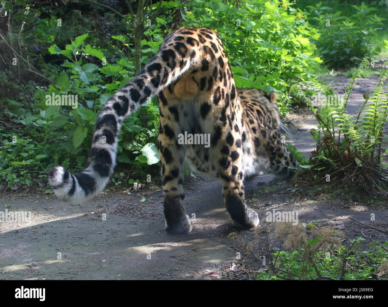 Male Amur or Far Eastern Leopard (Panthera pardus orientalis) flexing his muscles. - Stock Image