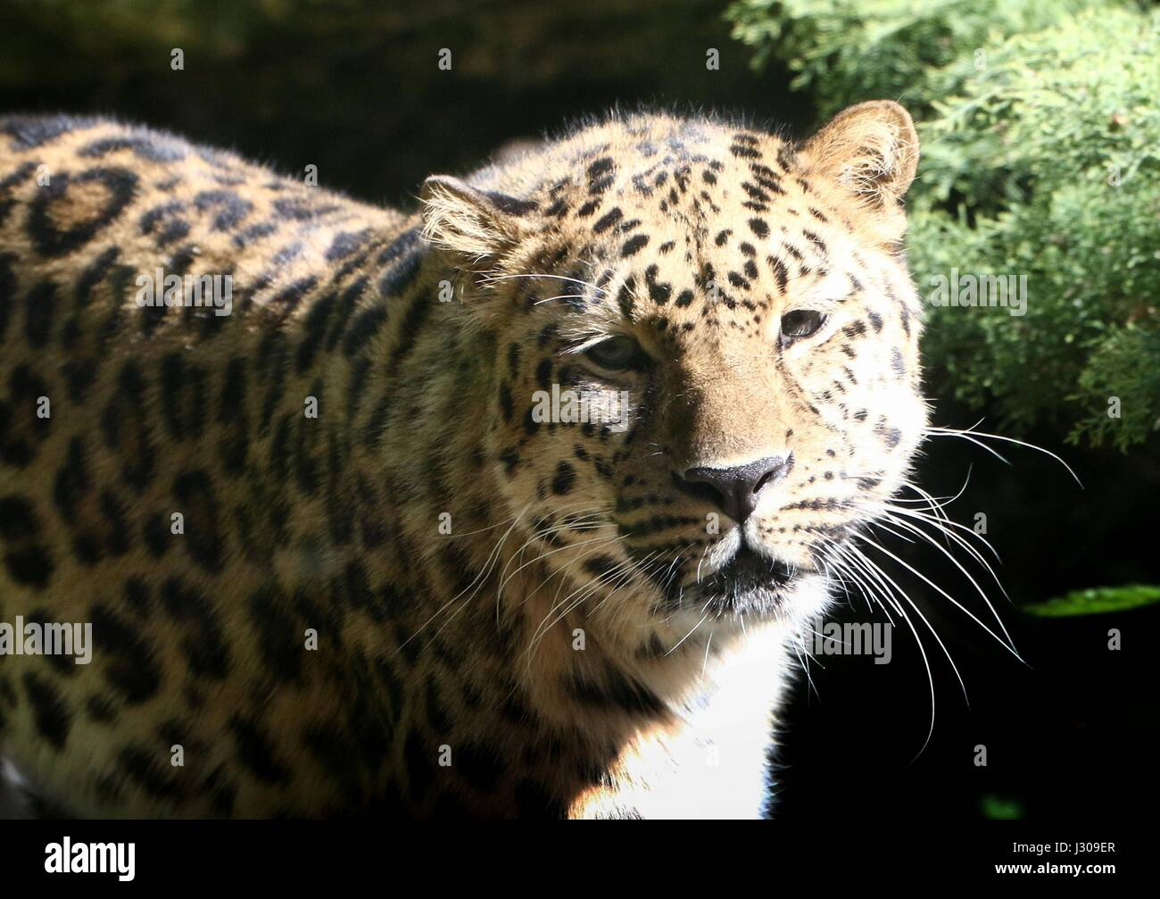 Closeup of the head of a male Amur or Far Eastern Leopard (Panthera pardus orientalis), critically endangered in - Stock Image