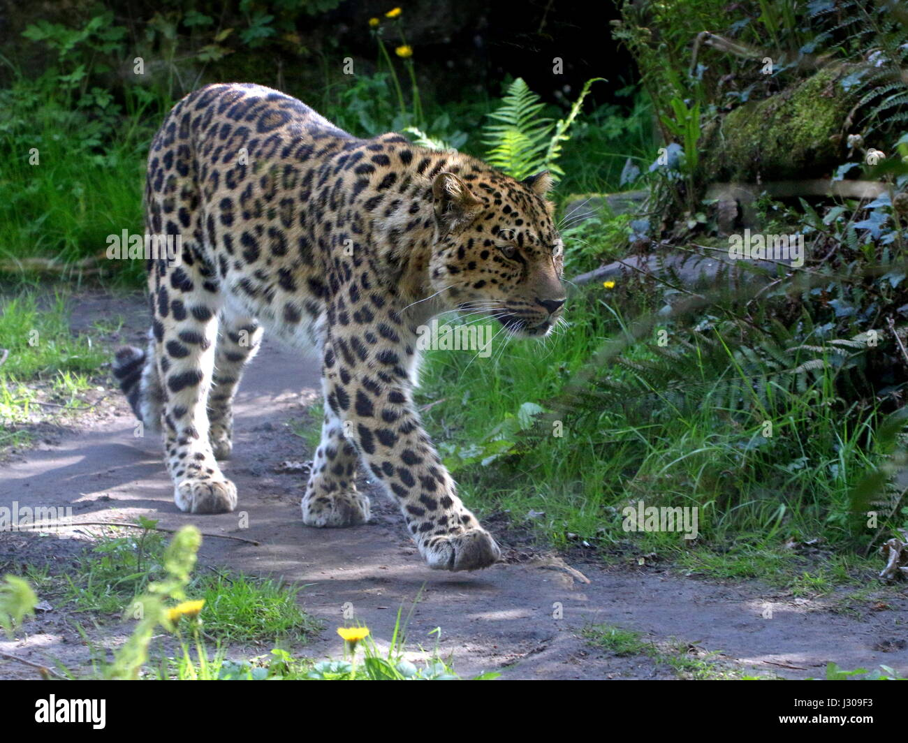 Amur or Far Eastern Leopard (Panthera pardus orientalis) on the prowl. Found in eastern Siberia and NE China and - Stock Image