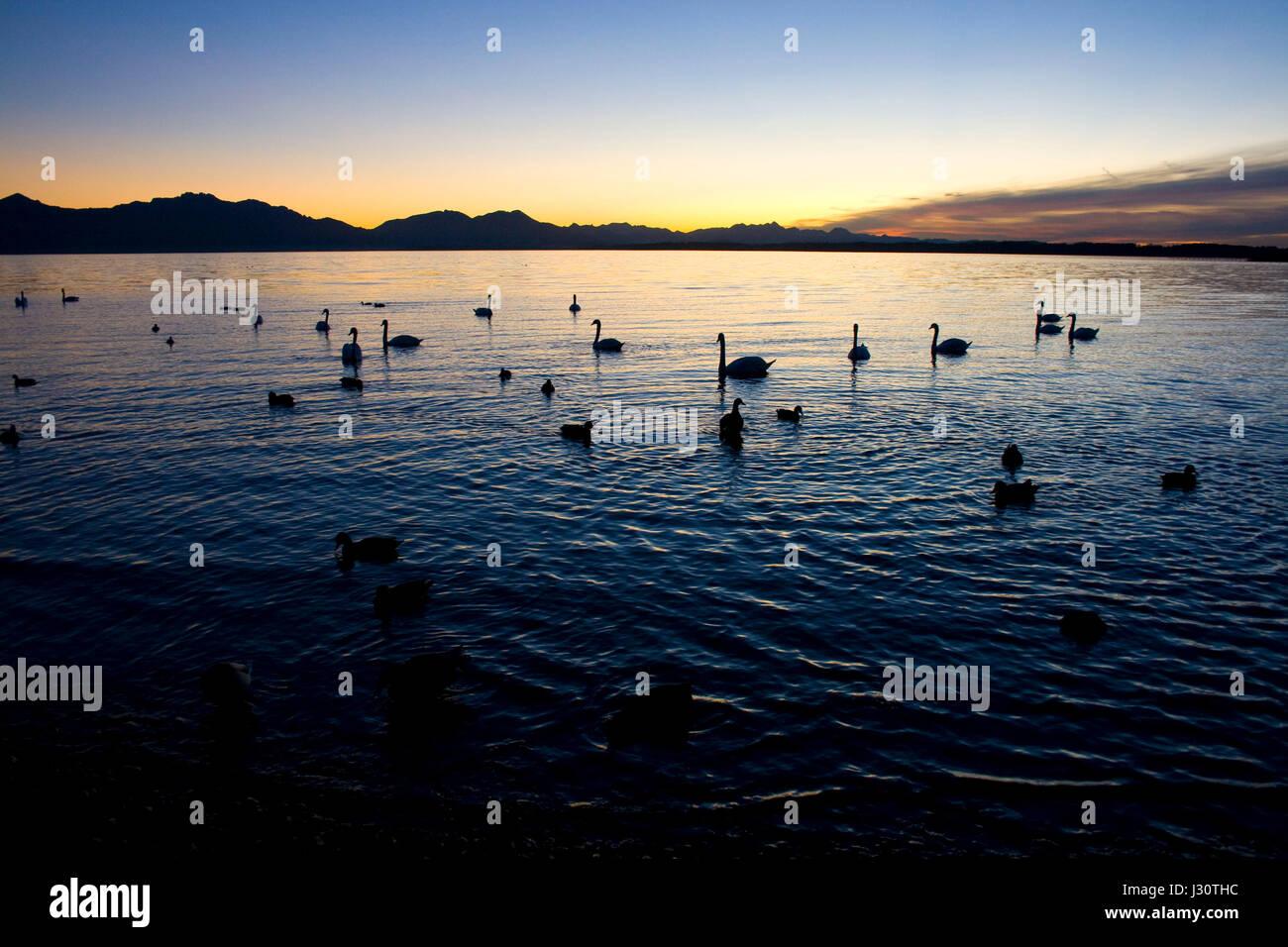 Schwäne und Bläßhühner im See vor der Kulisse der Chiemgauer Alpen im letzten Licht eines Novembertages * swans Stock Photo