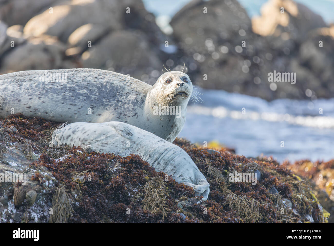 Spotted Adult Male Harbor Seal (Phoca vitulina) Watching over his sleeping baby. Stock Photo