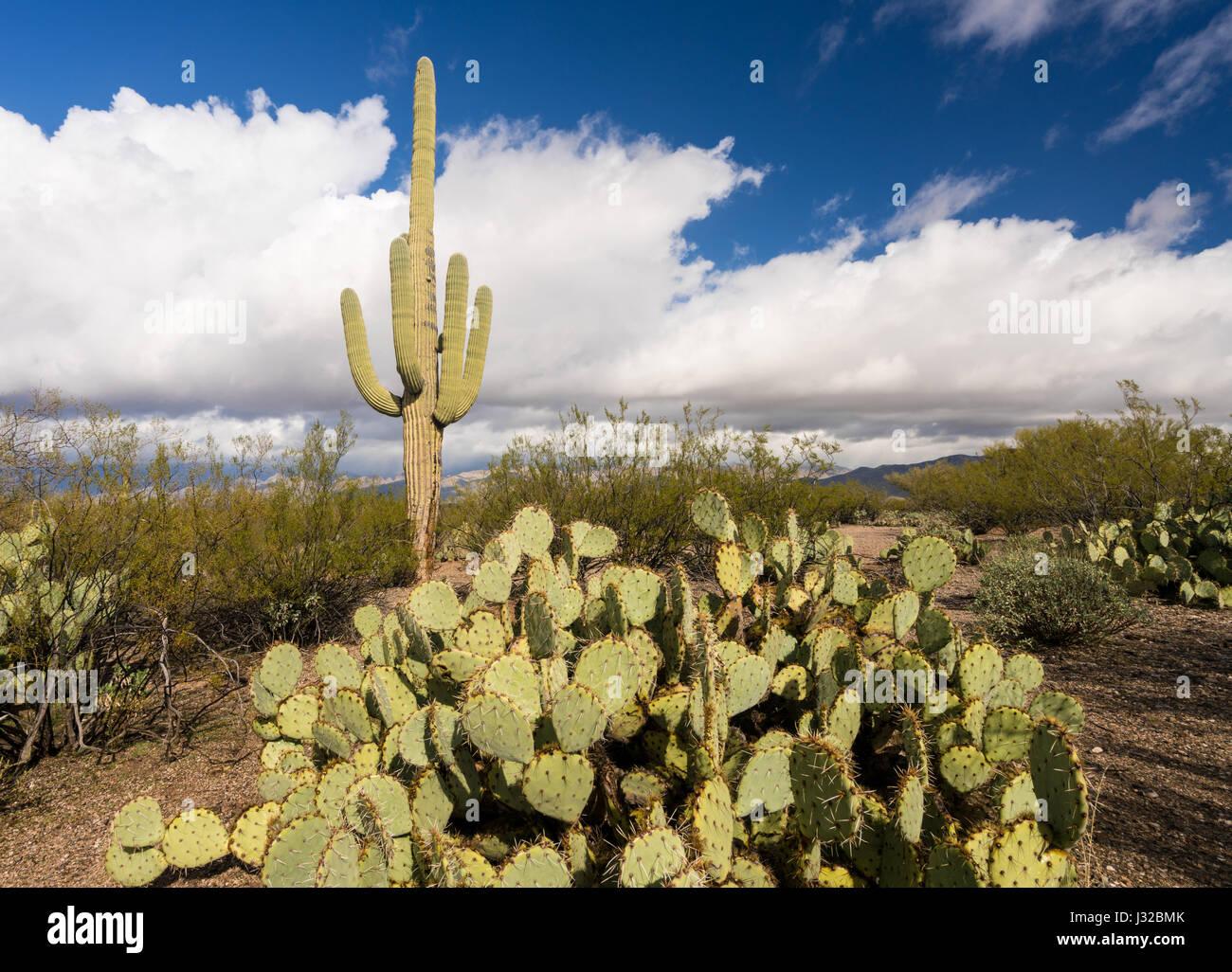 Saguaro cactus plant, Santa Catalina Mountains, Coronado National Forest, near Tucson, Arizona desert, USA - Stock Image