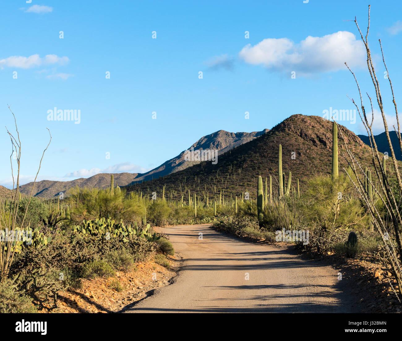 Many saguaro cactus plants line on a scenic desert road in Saguaro National Park West near Tucson, Arizona - Stock Image