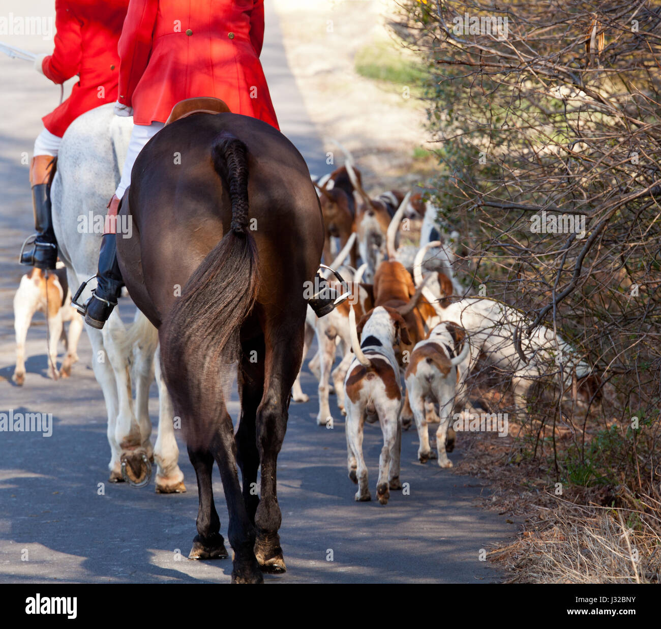 Fox hunting - hounds and horse riders on a hunt - Stock Image